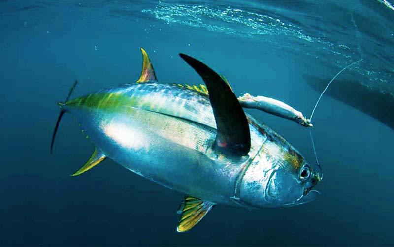 Offshore Tuna Fishing